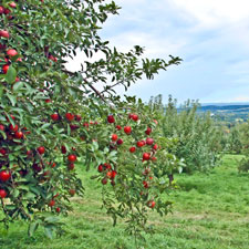our 14 varieties of apples ripen between early September and late October